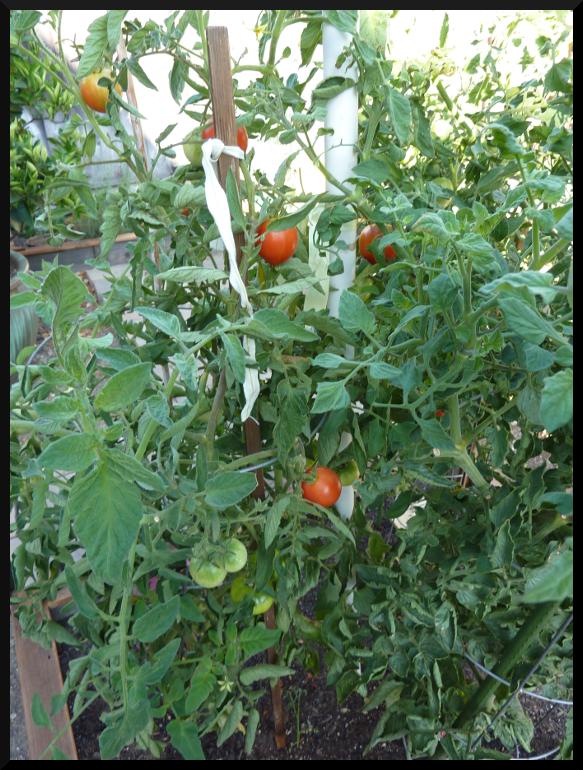 tomatoatlast
